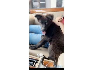كلب للبيع ذكر عمره شهرين و نصف + بطاقه صحيه
