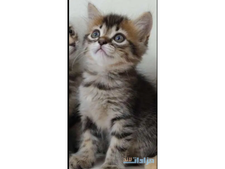 Persian kittens 2 months old