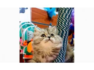 اجمل قطه شيرازي مون فيس بسعر ممتاز