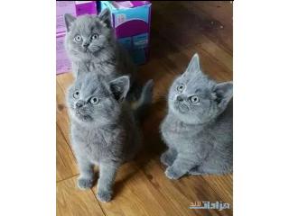 Lovely British Shorthair Kittens