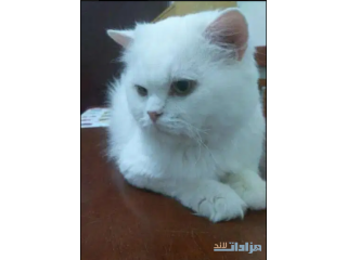 White sherzy male cat one year years old