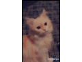 persian-cat-for-sale-small-0