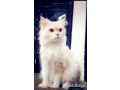 persian-cat-for-sale-small-1