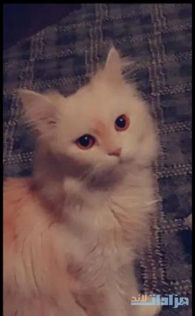 persian-cat-for-sale-big-0