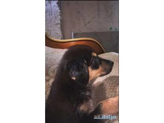 Rotweiler puppy