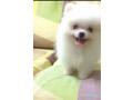 beatiful-pomeranian-puppy-available-small-1