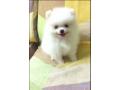 beatiful-pomeranian-puppy-available-small-0
