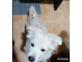 terrier-mix-maltese-small-1