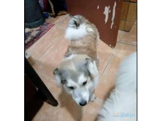 Terrier mix maltese