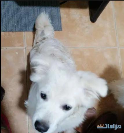 terrier-mix-maltese-big-1