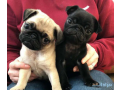 fawn-pug-puppys-small-0