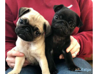Fawn pug puppy's