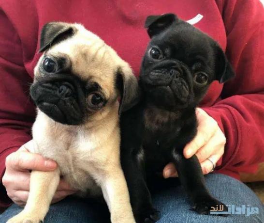 fawn-pug-puppys-big-0