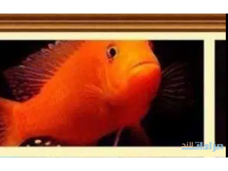 سمك سكليد للبيع