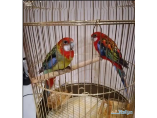 Eastern Rosella for sale