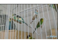 i-want-to-sell-my-budgies-small-1