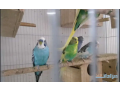 i-want-to-sell-my-budgies-small-0