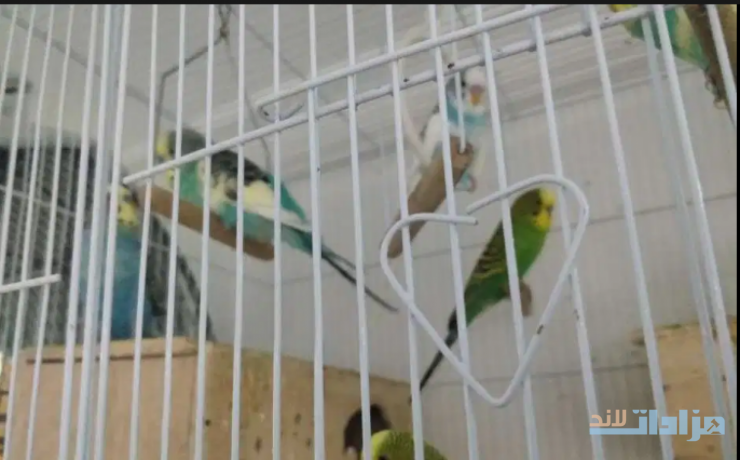 i-want-to-sell-my-budgies-big-1