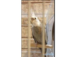 ذكر كوكاتيل Male Cockatiel