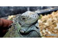 green-iguana-pair-for-sell-small-0