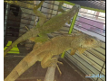 green-iguana-pair-for-sell-small-1
