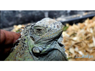 Green Iguana pair for sell
