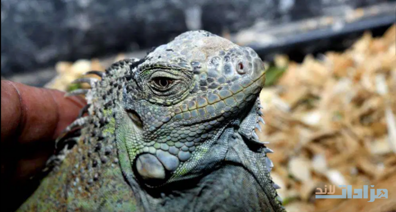 green-iguana-pair-for-sell-big-0