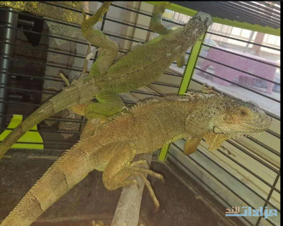 green-iguana-pair-for-sell-big-1
