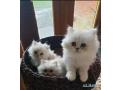 beautiful-chinchilla-persian-kittens-small-0