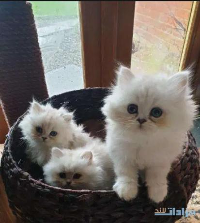 beautiful-chinchilla-persian-kittens-big-0