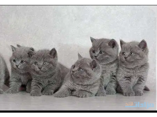 British Short-hair Kittens available