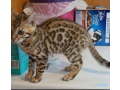 pedigree-bengal-kittens-for-sale-small-1