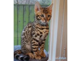 Pedigree Bengal kittens for sale