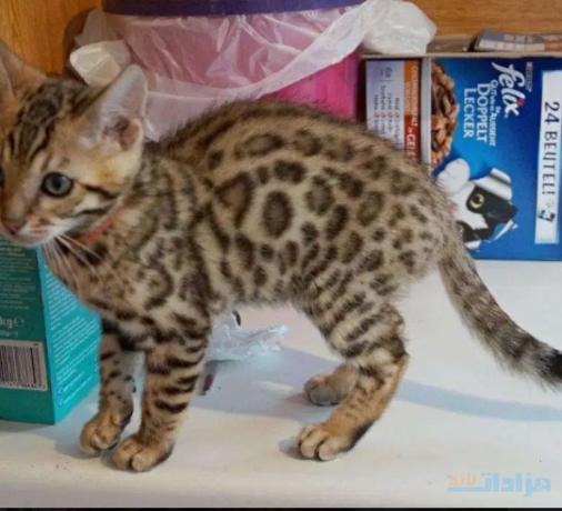 pedigree-bengal-kittens-for-sale-big-1