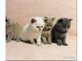 british-shorthair-kittens-small-0
