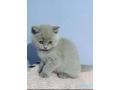 british-shorthair-kittens-small-1