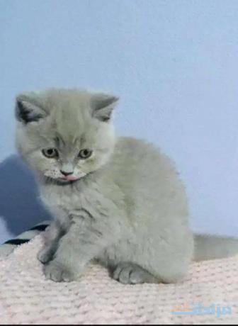 british-shorthair-kittens-big-1