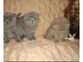 healthy-scottish-fold-kittens-for-available-small-0