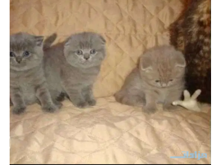 Healthy Scottish Fold Kittens for available
