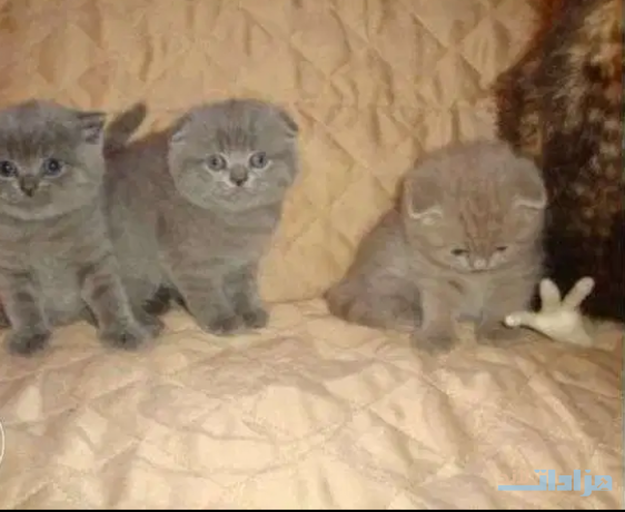 healthy-scottish-fold-kittens-for-available-big-0