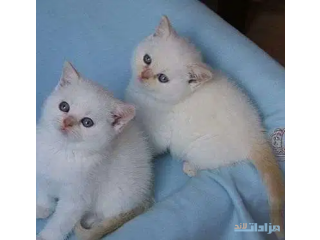 Gccf Ragdoll Kittens Boys and girls Seal