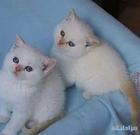 gccf-ragdoll-kittens-boys-and-girls-seal-big-0