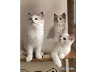 Gccf Reg Full Pedigree Ragdoll Kittens available