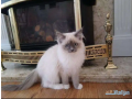 ragdoll-kittens-for-sale-small-0