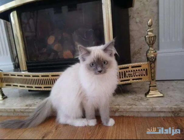 ragdoll-kittens-for-sale-big-0