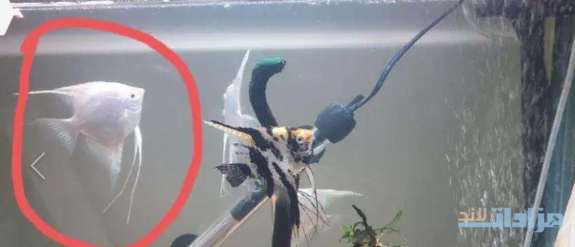 one-white-angel-fish-40qr-big-0