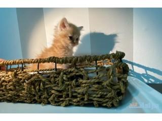 للبيع قطط العمر شهرين لعوبين جداً