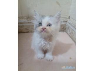 » قطط بعمر شهر ونص اناث جده