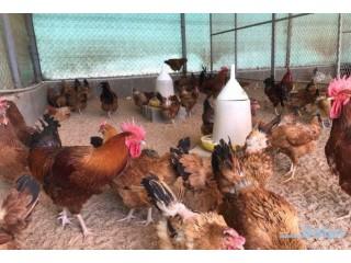 » بيض دجاج فرنسي وتركي(عرض خاص) الطايف