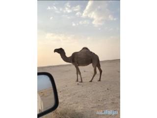 صفرا معشر الرياض